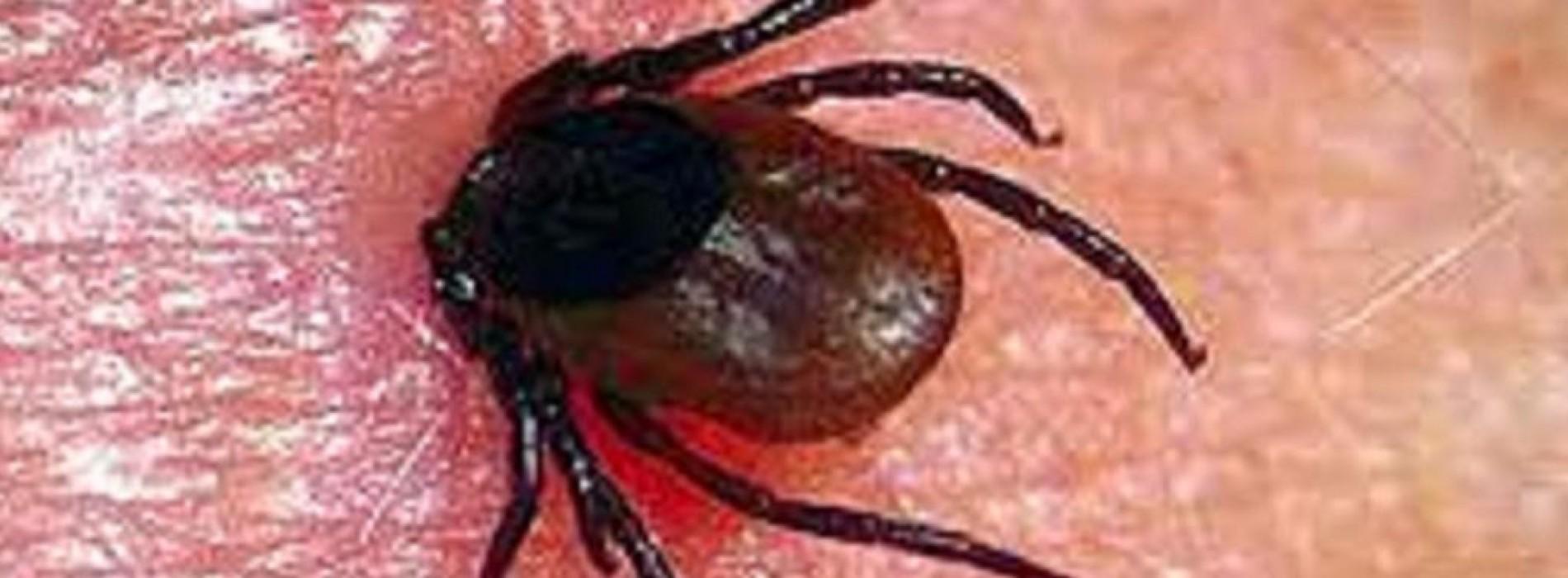 Waarschuwing: Teken dragen nu een ziekte dodelijker dan Lyme ziekte!