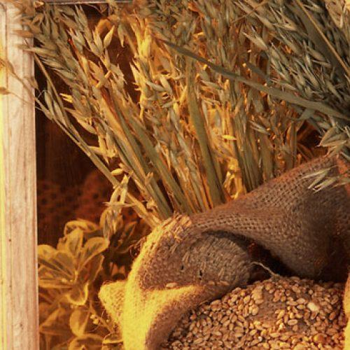 Vezels uit granen dragen bij aan lang en gezond leven