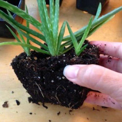 De Zuurstof Bom: wanneer u Plaats deze plant plaatst, haalt u alle giftige stoffen uit uw huis!