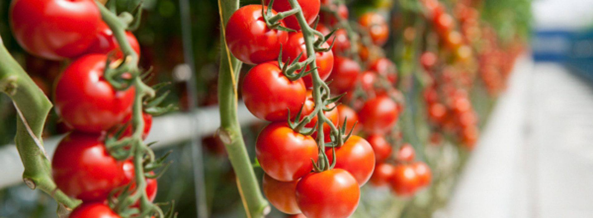 4 handige trucjes die ervoor zullen zorgen dat je tomatenplanten dit jaar perfect zullen groeien!