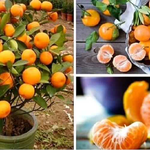 Stop met het kopen van mandarijnen. Plant ze in een bloempot en je hebt altijd honderden biologische mandarijnen!