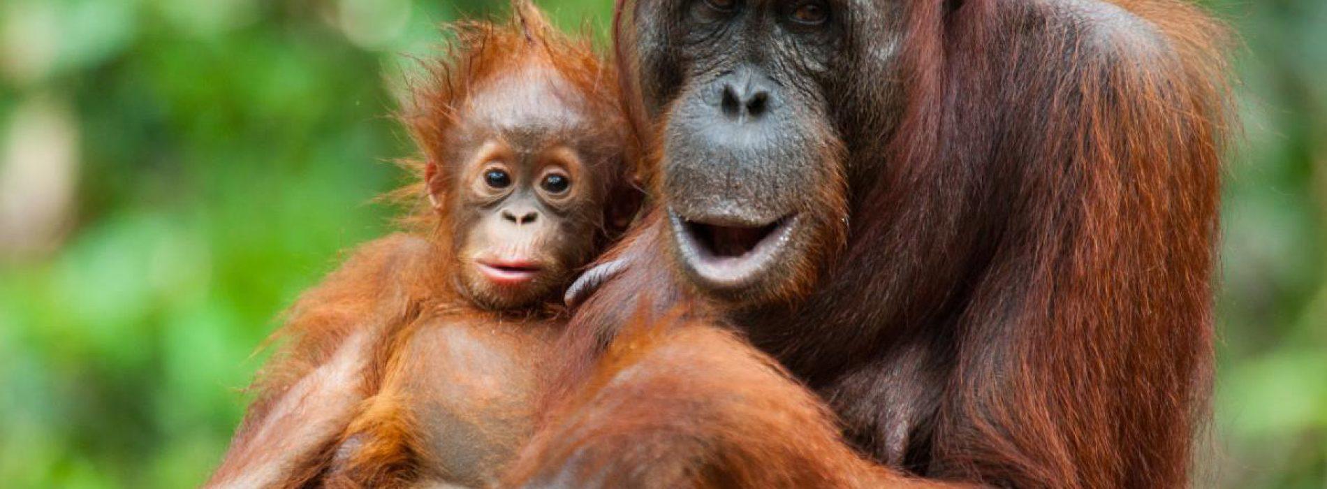 Wereldprimeur: orang-oetans maken hun eigen medicijnen. Is de mens wel zo slim als hij denkt?