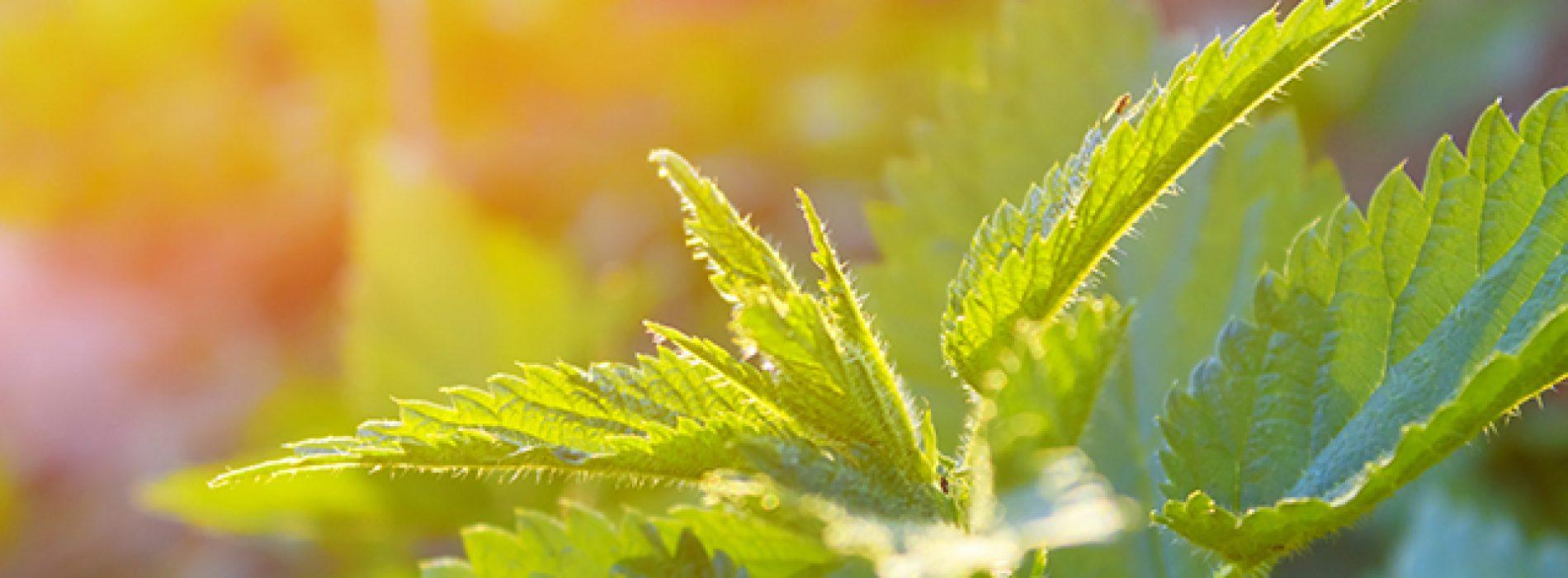 Botanische studie concludeert het antioxidant potentieel van kleine brandnetel