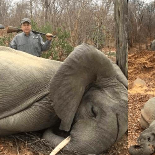 Rijke Amerikaanse zakenman poseert met dode babyolifanten die hij trots heeft vermoord in Afrika