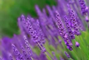 Lavendel 4058341.jpg-for-web-normal