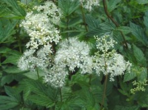 moerasspirea.jpg-for-web-normal