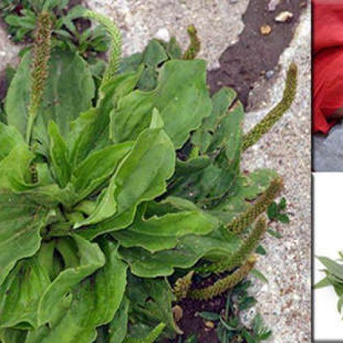 Dit algemeen voorkomend oprit (on)kruid is een van de natuur's meest krachtige survival planten!