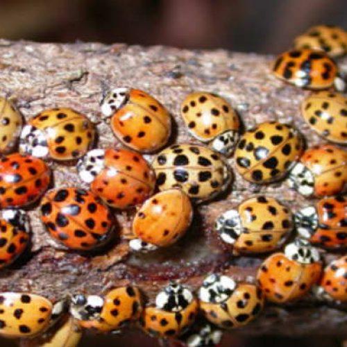 Je denkt misschien dat die gewoon lieveheersbeestjes zijn, de waarheid is echter veel gevaarlijker!