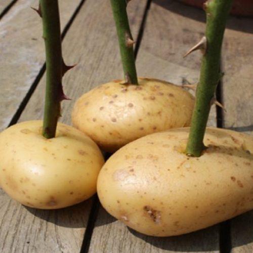 Steek een afgesneden stengel van een roos in een aardappel. Dit is het geweldige resultaat!