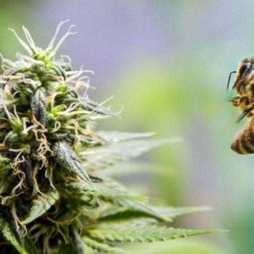 Bijen houden absoluut van cannabis en het zou hun populaties kunnen helpen herstellen