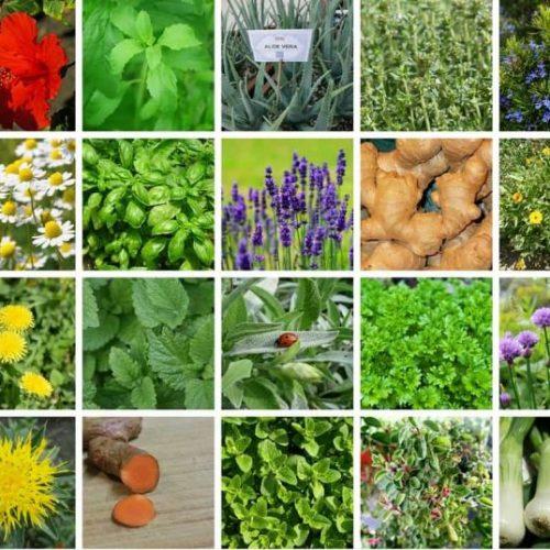 Deze medicinale (on)kruiden die groeien in uw achtertuin (video)