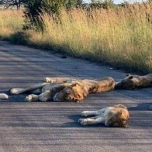Nu Zuid-Afrika op slot zit, doen de leeuwen het erg rustig aan