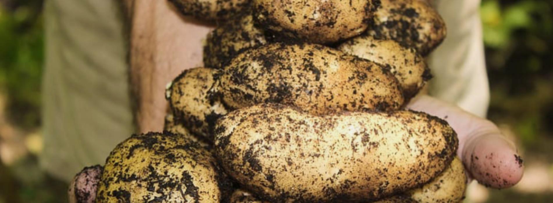 Volg deze 4 eenvoudige stappen om honderd pond aardappelen in een vat te laten groeien