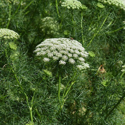 Welke planten zijn effectief bij de behandeling van nieraandoeningen?