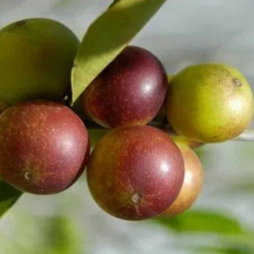 De verrassende gezondheidsvoordelen van Camu Camu-bessen